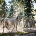 華麗なるポーランドの馬たち ポーランド東部・ヤヌフ・ポドラスキ村